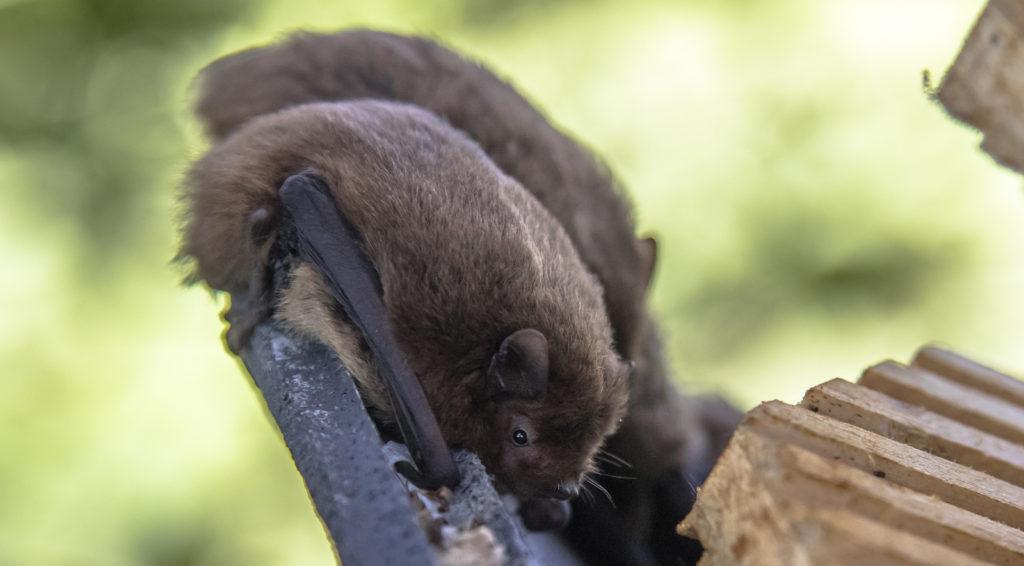 Bat Removal Control Virginia 2