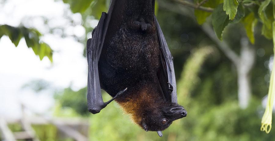 Virginia Bat Removal Control Service