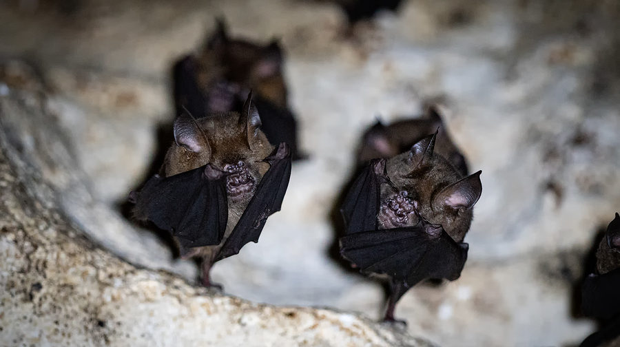 Virginia Bat Removal and Control