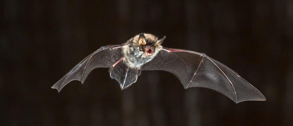 Virginia Bat Control Company