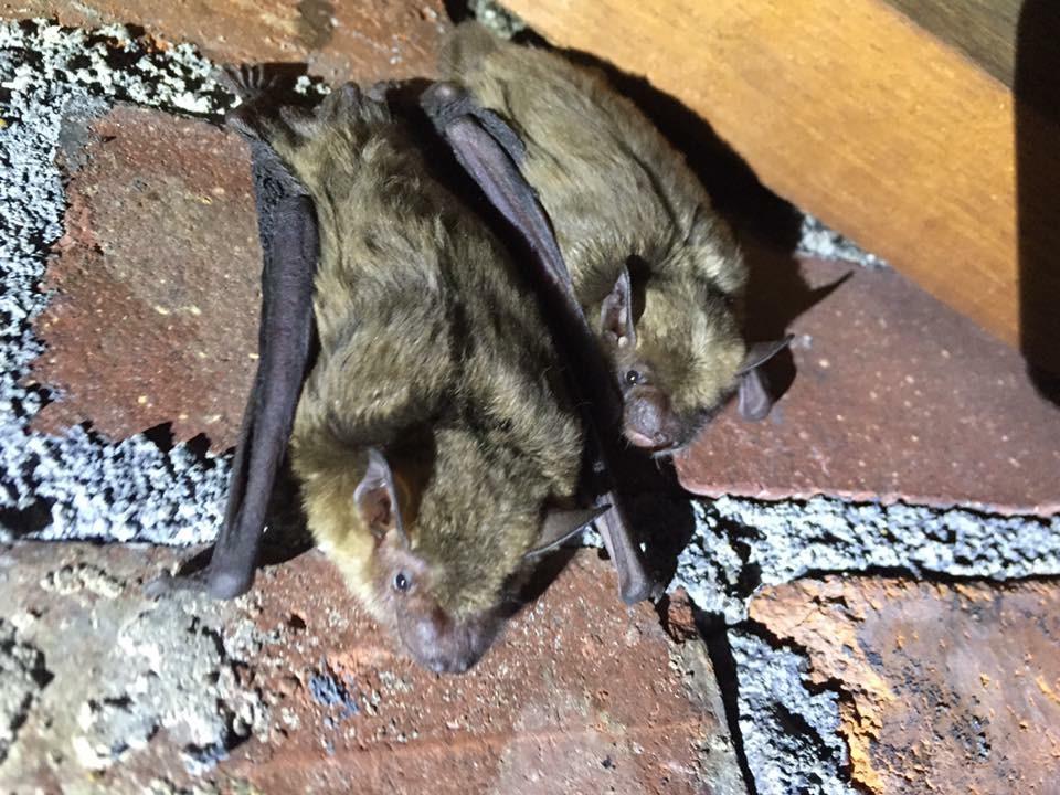 Virginia Bat Removal