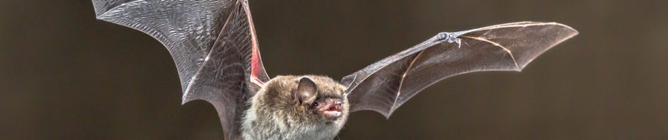 Charlottesville Virginia Bat Removal and Control