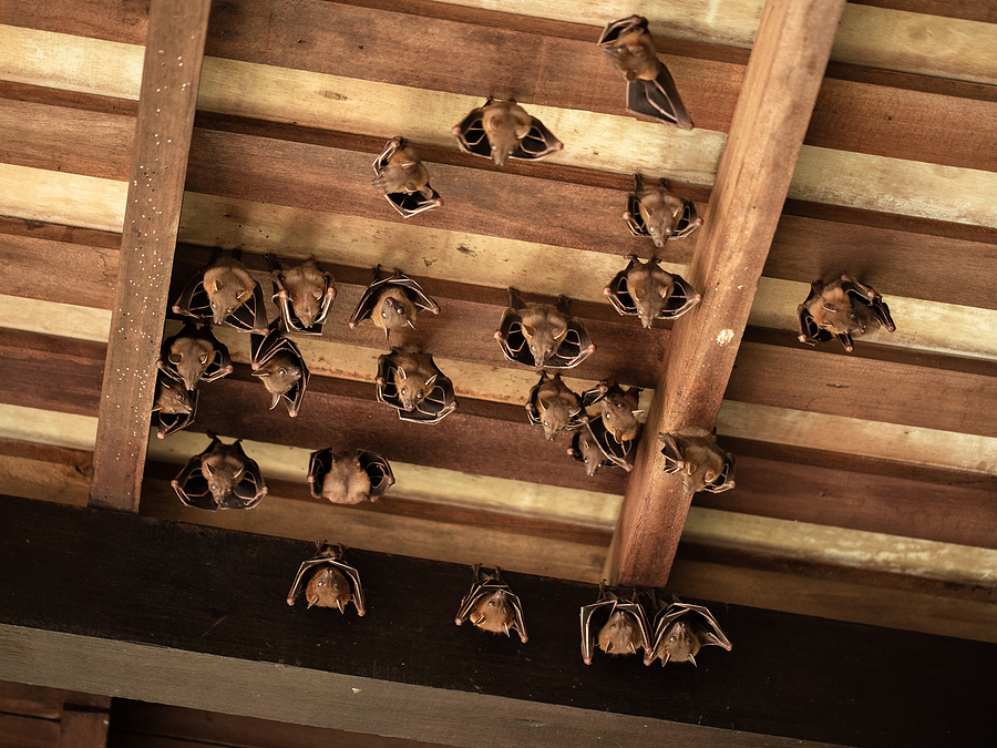 Get Rid of Bats in the Attic in Virginia 804-729-9097
