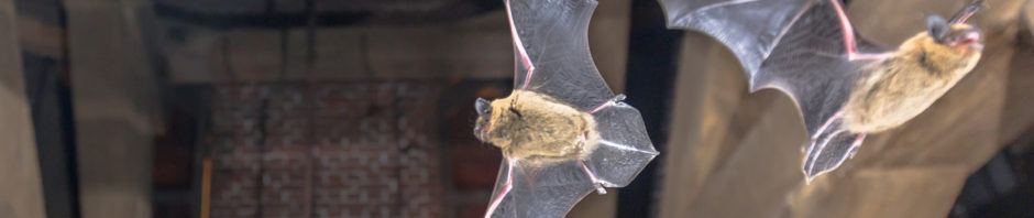Richmond Bat Removal and Control 804-729-9097